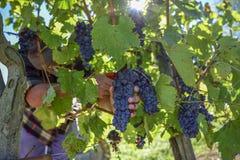 Junger Landwirtmann während der Ernte in Italien an einem sonnigen Herbsttag stockbild
