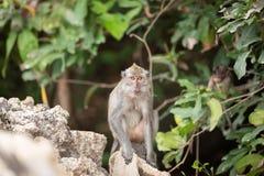 Junger langschwänziger Affe Stockbilder
