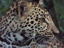Junger Leopard Stockbild