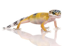 Junger Leopard Gecko - Eublepharis macularius lizenzfreie stockfotos