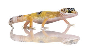 Junger Leopard Gecko - Eublepharis macularius lizenzfreie stockfotografie
