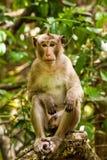 Junger männlicher Affe, der auf der Niederlassung sitzt Stockfotografie
