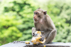 Junger männlicher Affe isst frischen Mais Lizenzfreies Stockfoto