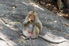 Junger männlicher Affe isst frischen Mais Lizenzfreie Stockfotografie