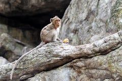 Junger männlicher Affe isst frischen Mais Lizenzfreie Stockbilder