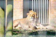 Junger männlicher Afrikaner Lion Laying Down Sunbathing an den Stangen von hallo Lizenzfreies Stockbild