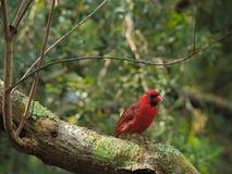Junger männlicher Kardinal 2 HDRs stockbild