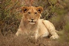 Junger männlicher Löwe Stockfoto