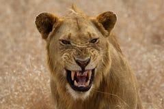 Junger männlicher Löwe Lizenzfreie Stockbilder