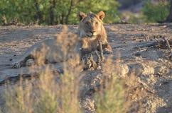 Junger männlicher Löwe Stockfotografie