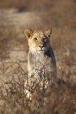 Junger männlicher Löwe in der Wüste Lizenzfreies Stockfoto