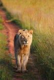 Junger männlicher Löwe in Welgevonden Lizenzfreie Stockfotos
