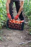 Junger männlicher Landwirt, der frische Tomaten an der Plantage aufhebt Lizenzfreies Stockbild