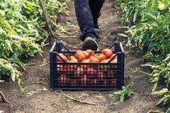 Junger männlicher Landwirt, der frische Tomaten an der Plantage aufhebt Stockbilder
