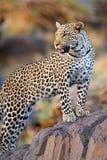 Junger männlicher Leopard Lizenzfreie Stockfotos