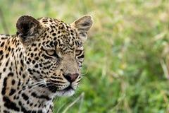 Junger männlicher Leopard, der nach Lebensmittel sucht Lizenzfreie Stockfotografie