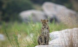 Junger männlicher Leopard am frühen Morgen hell stockfotografie