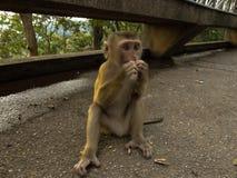 Junger Macacaaffe, der auf dem Stein spielt mit etwas in seinen Händen sitzt Stockfotos