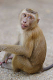 Junger Macacaaffe, der auf dem Stein spielt mit etwas in seinen Händen sitzt Stockbild