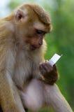 Junger Macacaaffe, der auf dem Stein spielt mit etwas in seinen Händen sitzt Stockbilder
