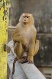 Junger Macacaaffe, der auf dem Stein spielt mit etwas in seinen Händen sitzt Lizenzfreie Stockfotografie