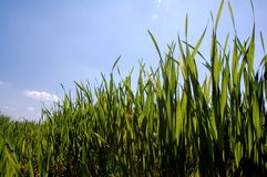 Junger Mais Lizenzfreie Stockfotografie