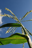 Junger Mais lizenzfreies stockfoto
