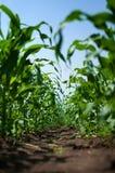 Junger Mais Stockfotografie