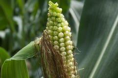 Junger Mais Lizenzfreie Stockbilder