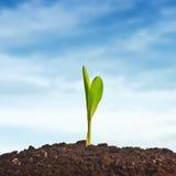Junger Maispflanzesprössling stockbilder