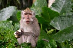 Junger Makaken-Affe essen Stockbild