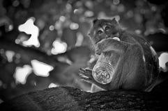 Junger Makaken, der in einer Flasche Wasser trinkt Stockfotos
