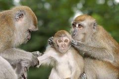 Junger Makaken des langen Schwanzes, der gepflegt wird stockfotos