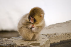 Junger Makaken-Schnee-Affe Stockfoto