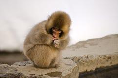 Junger Makaken-Schnee-Affe Lizenzfreie Stockfotografie