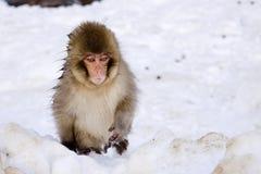 Junger Makaken-Schnee-Affe Lizenzfreies Stockbild