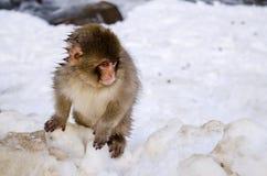 Junger Makaken-Schnee-Affe Stockbild