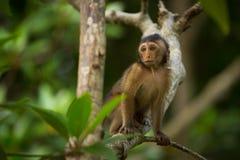 Junger Makakenaffe auf Niederlassung Stockfoto