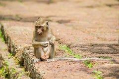 Junger Makakenaffe, der Frucht sitzt und isst stockfotos
