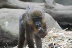 Junger Mandrill-Affe, der auf Lebensmittel eine Kleinigkeit isst Lizenzfreie Stockfotos