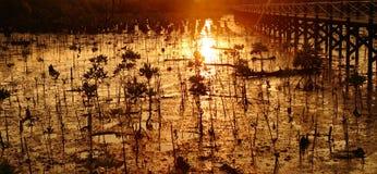 Junger Mangrovebaum am Sonnenuntergang Stockfotografie
