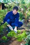 Junger Mann, der Boden nahe Salat harkt Stockbild