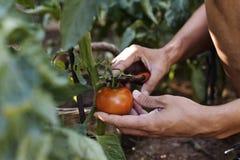 Junger Mann, der eine Tomate von der Anlage auswählt Stockfoto