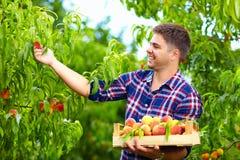 Junger Mann, der Pfirsiche im Fruchtgarten erntet Stockbild