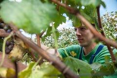Junger Mann, der Trauben erntet Lizenzfreie Stockfotos
