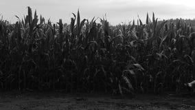 Junger Mann im Kapuzenpulliweg auf Feldern mit Maispflanzen Rebecca 6 Auszug stock footage