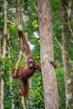 Junger Mann von Bornean-Orang-Utan auf dem Baum Stockbilder