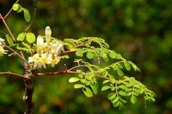 Junger Moringa-Baum mit Blättern und Blumen Stockfotos