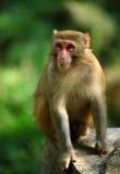 Junger netter Affe im Freien Lizenzfreie Stockfotografie