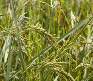 Junger Ohr-Reis Stockbilder